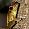 Stony-creek Frog