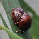Acacia Leaf Beetle