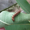 Variegated Fritillary Caterpillar