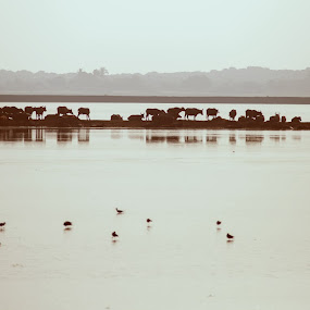 morning in Yala by Виктория Нарчук - Animals Other ( nature, yala, sri lanka, morning, water buffalo )