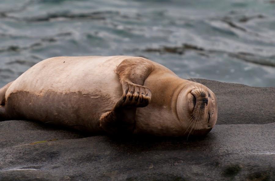 Peaceful Sleep by Kevin Mummau - Novices Only Wildlife ( love, prayer, seals, thanks, seal, rest, beach, sleep,  )