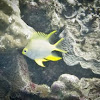 Yellow Damselfish