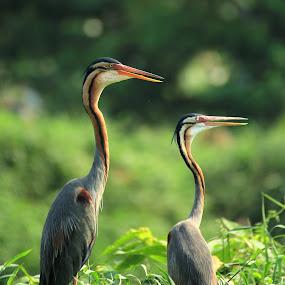 by Zulfikar Achmad - Animals Birds