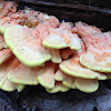 Chicken mushroom (sulphur shelf)