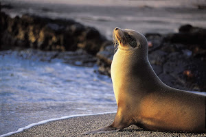 While sailing the Galápagos Islands on a Lindblad Expedition, you will get the chance to see sea lions and other local wildlife.