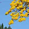 Cortez amarillo