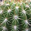Torch Cactus