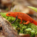 Red Spotted Newt (Red Eft)