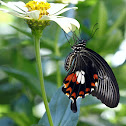 Common Mormon Butterfly (Female)