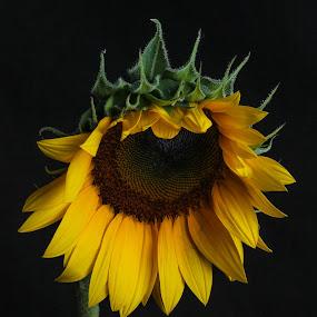Sunflower by Eduardo Llerandi - Flowers Single Flower ( flash, studio light, sunflower, beauty, light,  )