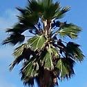 California Washingtonia (California Fan Palm)