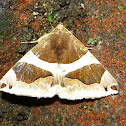 Bastilla Moth