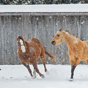 by Patti Cooper - Animals Horses ( playing, winter, horses, snow, running, snowing,  )