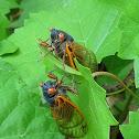 Periodical Cicada (Magiciacada)