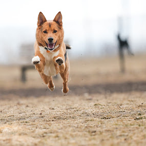 The Flying Canine by Peter M  - Animals - Dogs Playing