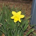 Yellow Dwarf Trumpet Daffodil