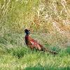 Common Pheasant (male)