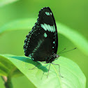 Great Eggfly Buttefly