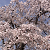 Japan:Large CherryTree in town