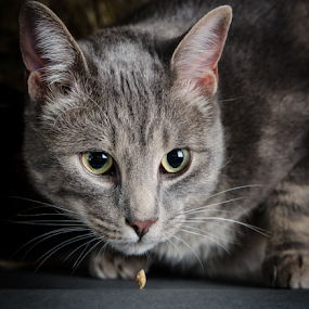 The snackie hypnotist by Sarah Hauck - Animals - Cats Portraits ( hypnosis, cat, stare, cat portrait, gray, treat )