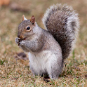 Squirrels Jigsaw Puzzles icon
