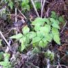 Common nettle or stinging nettle