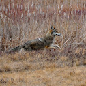 Northeastern Coyote