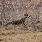 Northeastern Coyote