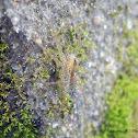 wolf Spider camouflage