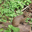 Indian brown mongoose