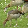 Egyptian goose (juveniles & parents)