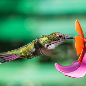 Puerto Iguazu.Colibri. by Javier De La Torre - Animals Birds (  )