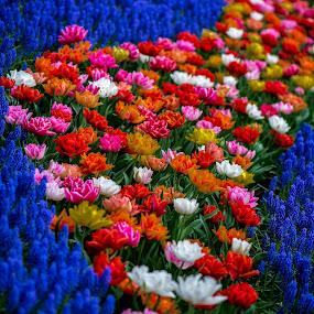 A Sea of Flowers by Lynn Wiezycki - Flowers Flower Gardens ( holland, tulip. keukenhof, garden, flower )