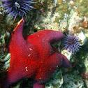 Bat Star and Purple Sea Urchin