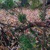 Garden yew