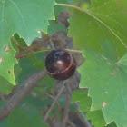 Muscadine (Fruit)