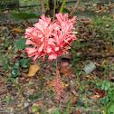 Japanese Lantern Hibiscus