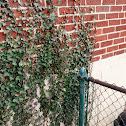 Ivy/Green Ivy