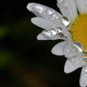 evening dew by Thomas Fitzrandolph - Nature Up Close Natural Waterdrops ( wildflowers, nature, daisy, rain drops, flowers,  )