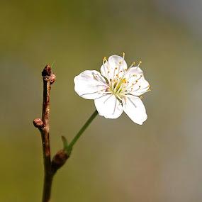 white by Cecilie Hansteensen - Flowers Single Flower ( white, beauty, singel flower, flower, norway,  )