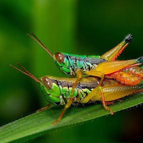 Grasshopper by Rudyanto A. Wibisono - Animals Insects & Spiders ( grasshopper,  )