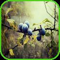 Blueberry  Wallpaper icon