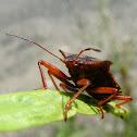 shilded stink bug