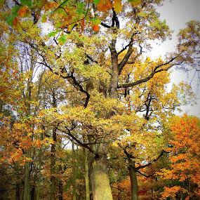 oak by Vygintas Domanskis - City,  Street & Park  City Parks ( fall, color, colorful, nature,  )