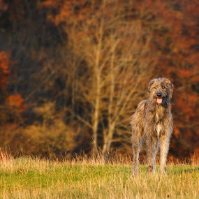 Irish Wolfhound by Keren Woodgyer - Animals - Dogs Playing ( nobody, copy space, pure bred, irish, sun, photography, looking, panting, wolfhound, autumn, pets, friendship, grey, loyalty, irish wolfhound, frontview, tongue, afternoon, grass, domestic, companionship, horizontal, hound, outdoors, hunting, trees, brown, dog, standing, friend )