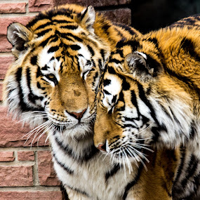 Snuggle by Dale Versteegen - Animals Lions, Tigers & Big Cats ( love, support, care, compassion )