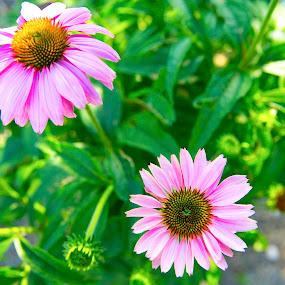 My summer garden coming alive by Greg Bracco - Flowers Flower Gardens ( greg bracco, canon 5diii, summer, beauty, flowers, garden,  )