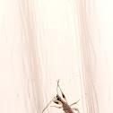Long-necked seed bug