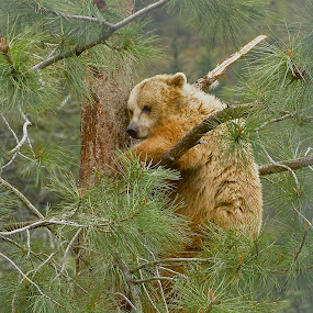 Grizzly Tree by  J B  - Animals Other ( bear, bear up a tree, bear climbs a tree, grizzly bear )