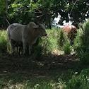bulls/cow